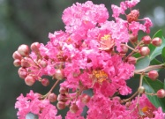 Azaleas in July