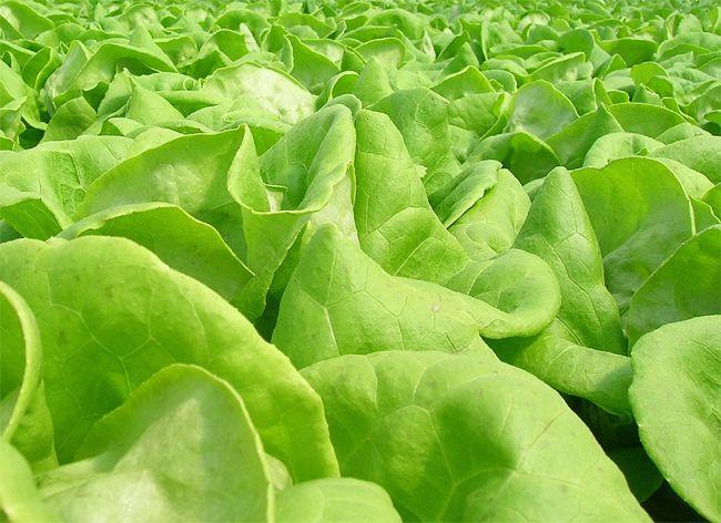 butter leaf lettuce real food pinterest