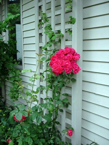 Climbing roses - Climbing rose trellis ...