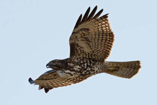 Red-tailed Hawk | Lost Coast Outpost | Humboldt County