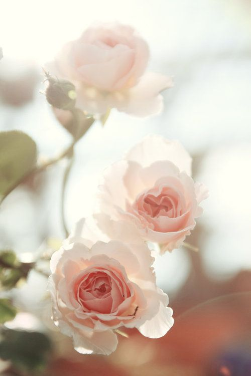 ✕ Darling flowers / #flowers #roses #pale