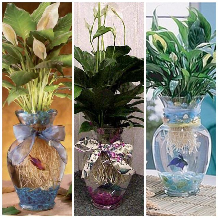 Betta fish vase images frompo for Fish bowl with plant on top
