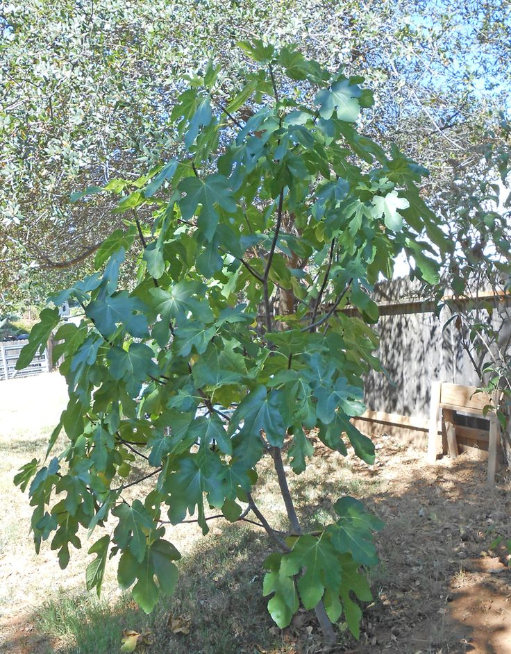 Plant A Fig Tree Garden And Yard Ideas Pinterest
