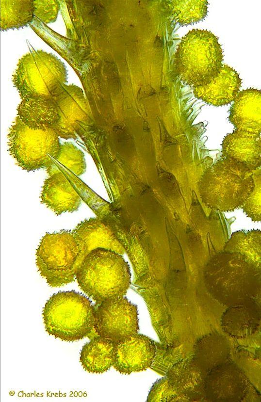 Micro photo of floret