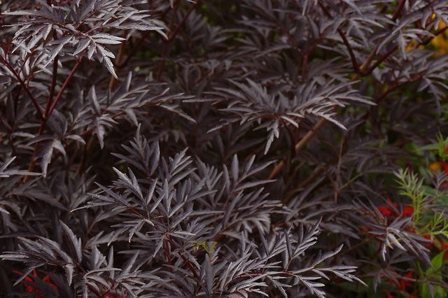 sambucus nigra 39 black lace 39 a purple walk design for petra majore. Black Bedroom Furniture Sets. Home Design Ideas