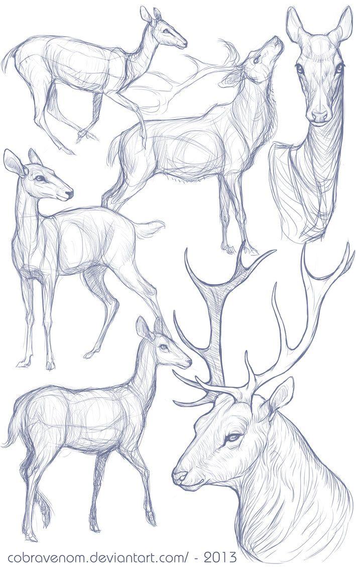 Deer antler anatomy
