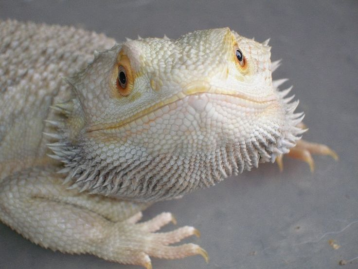 bearded dragon | Albino Animals | Pinterest