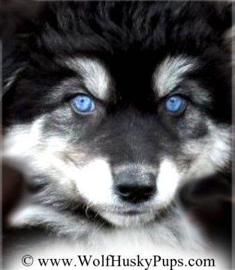 Siberian Husky Wolf Dog | Rachael Edwards