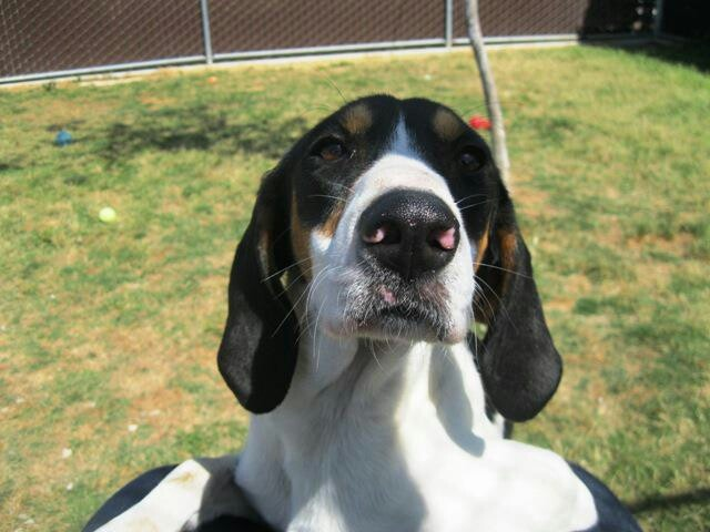 PREGNANT COONHOUND dumped at SHAFER ANIMAL SHELTER need rescue URGENTLY only has til 5/6/13 at 2 PM. Transport available. Call 661-746-0351 or fax 661-746-0351. PLEASE SHARE/PLEDGE