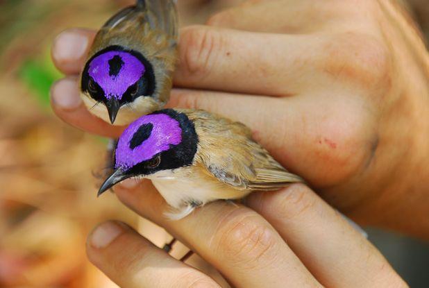 Male Purple-crowned Fairy-wrens. Awwww