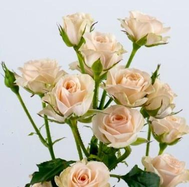 Jana Spray Rose Wedding Flower Collection Pinterest