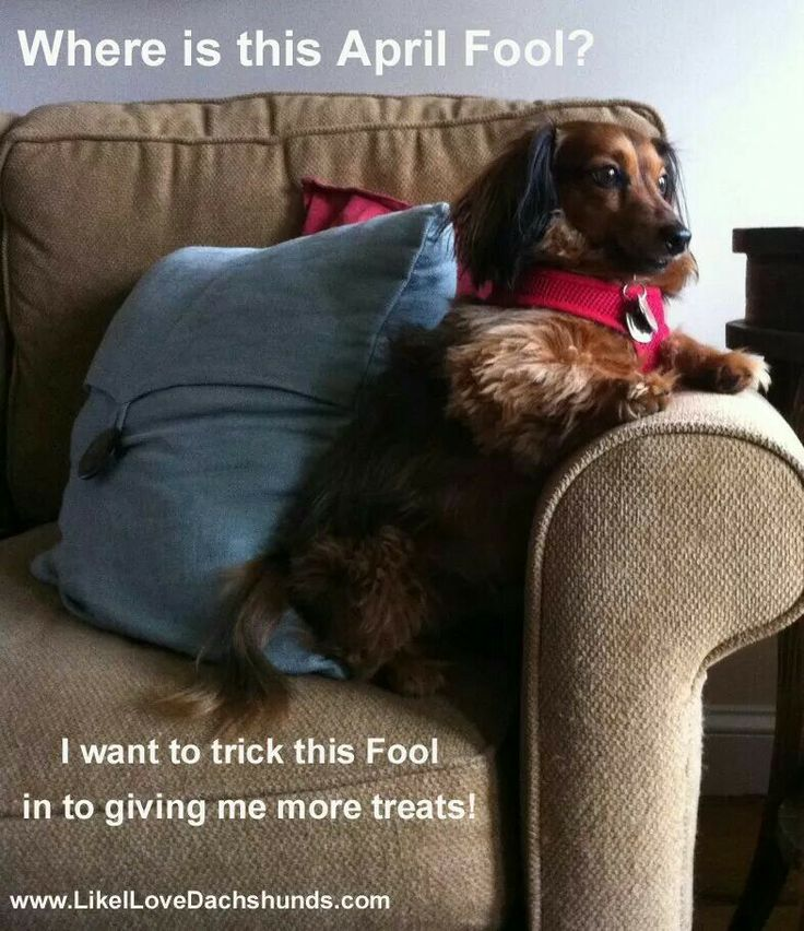 April fools day | dachshunds | Pinterest
