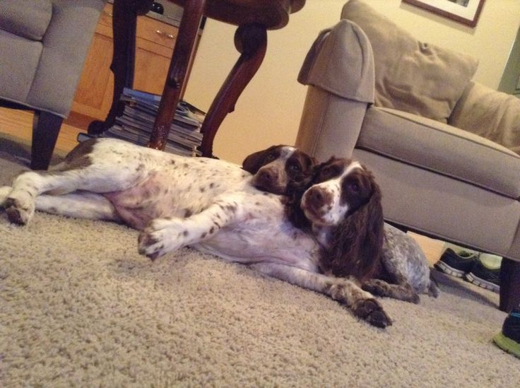 English Springer Spaniel: Eleven years old & German Short-Hair and ...