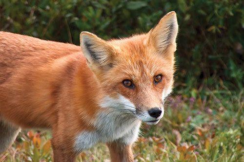 Red fox фото 99724 фотография