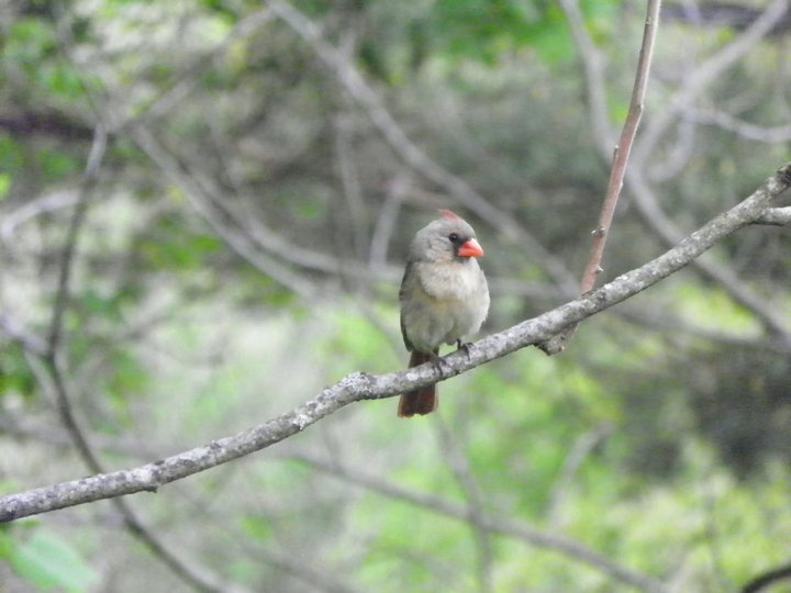 Ms. Cardinal