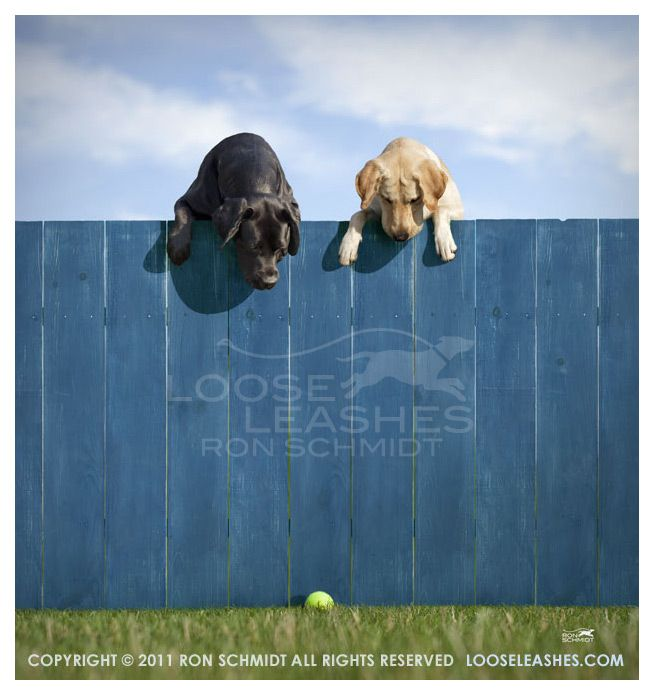 Classic! How often have I seen this with my two labs!