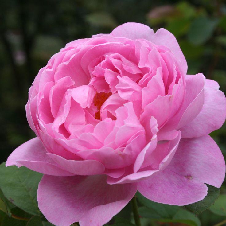mary rose beautiful flowers pinterest. Black Bedroom Furniture Sets. Home Design Ideas