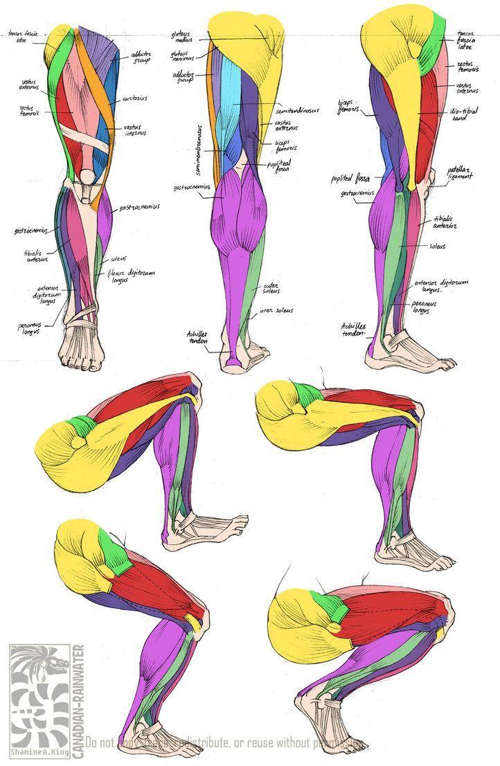 Muscle anatomy leg