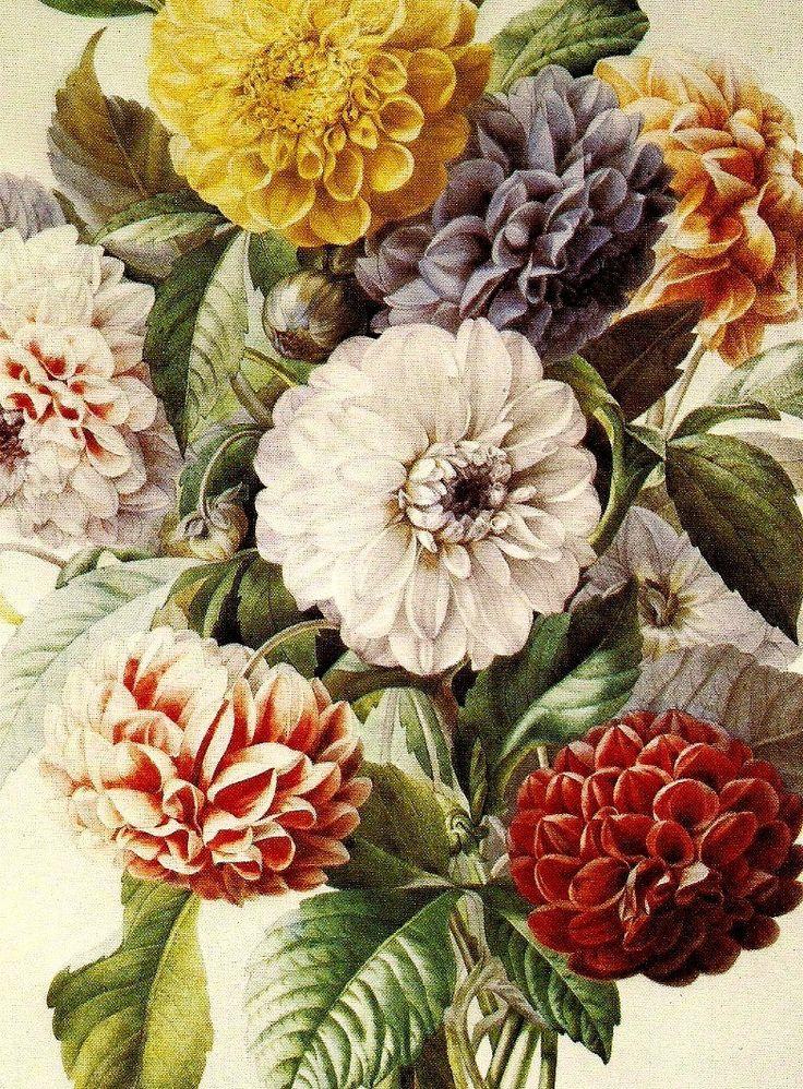 Георгины и розы Винтаж Ботанический Иллюстрация