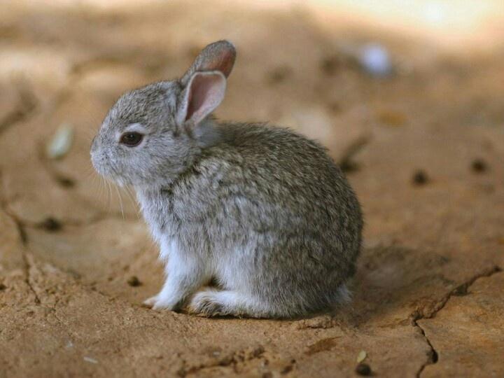 baby snowshoe rabbit