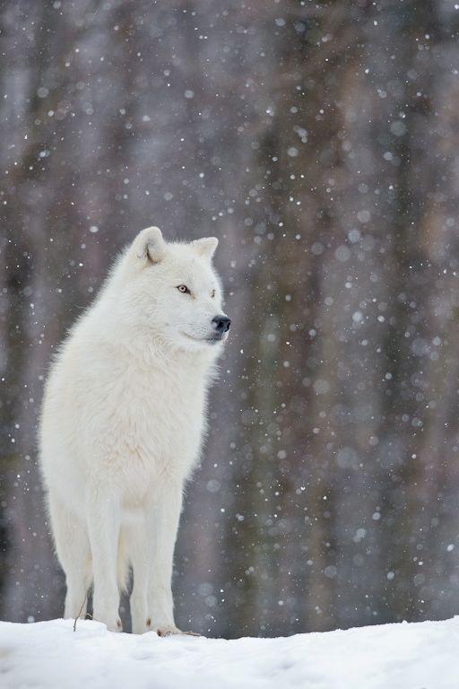 Arctic wolf in snow - photo#1