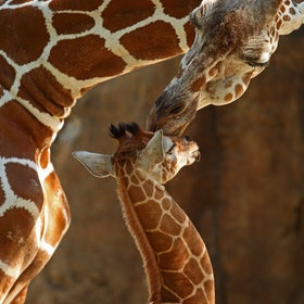 Mother's kiss #giraffe #photography #animal #kiss