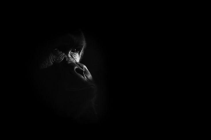 gorilla....I See You.!