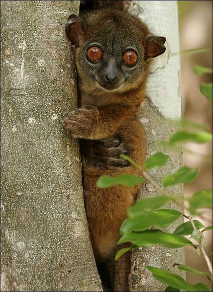 NORTHERN SPORTIVE LEMUR (endangered)   Odd looking ...