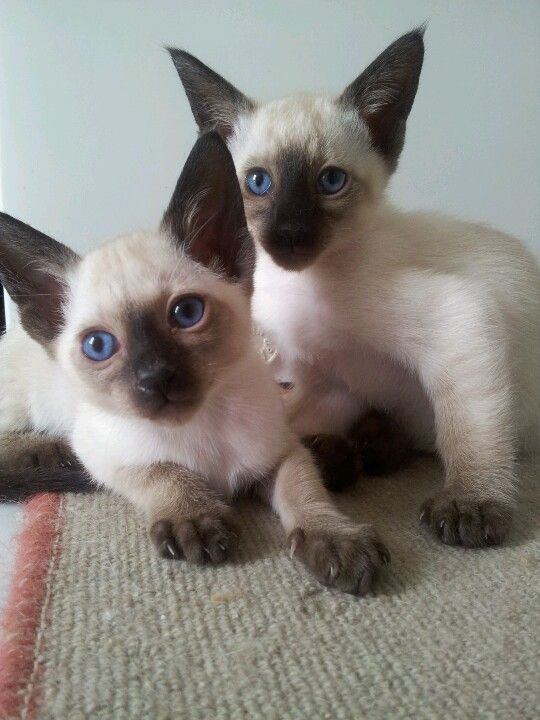 Baby seal point Siamese