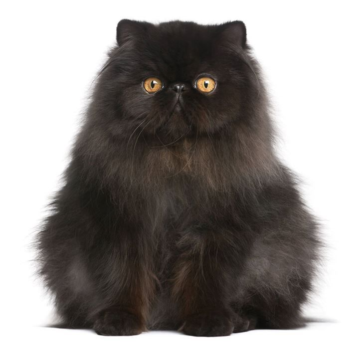 Persian Black Cat Images