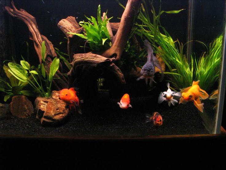 Beautiful Goldfish Tank Aquarium Envy Pinterest