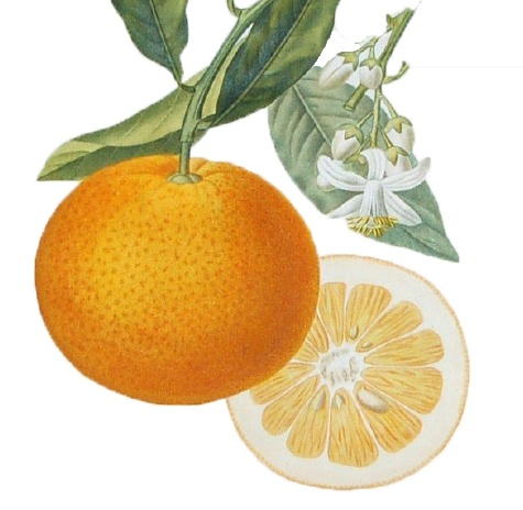Orange Botanical Illustration Vintage