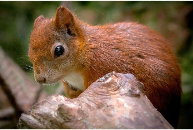 Baby red squirrels - photo#5