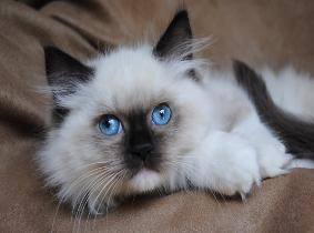 Big City Ragdolls, blue eyed white ragdolls, mink ragdoll, sepia Ragdoll  Beanie hopefully my kitties Momma