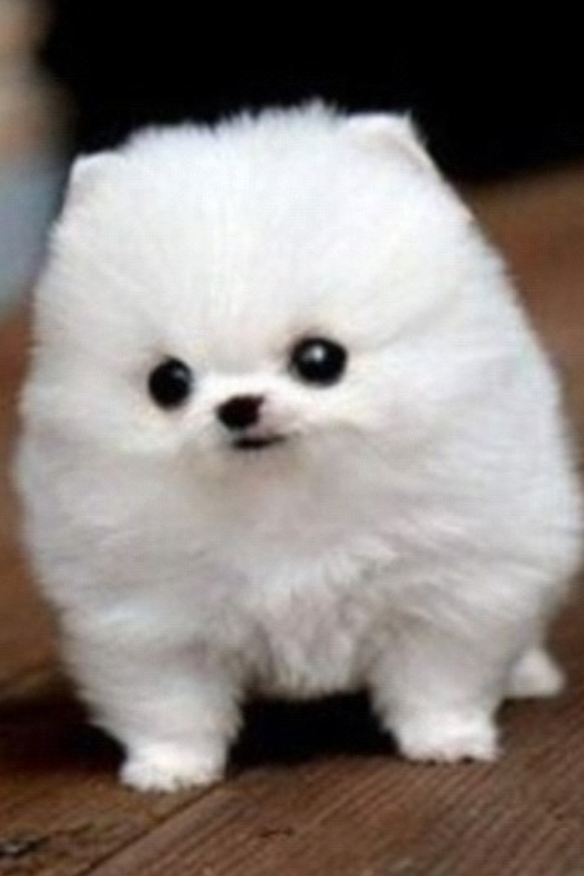 Pin Cute-fluffy-puppies on Pinterest