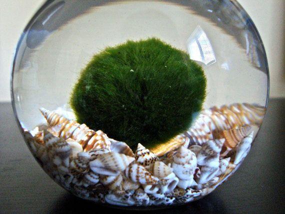 Huge marimo moss ball in a seashell aquarium garden for Betta fish moss ball