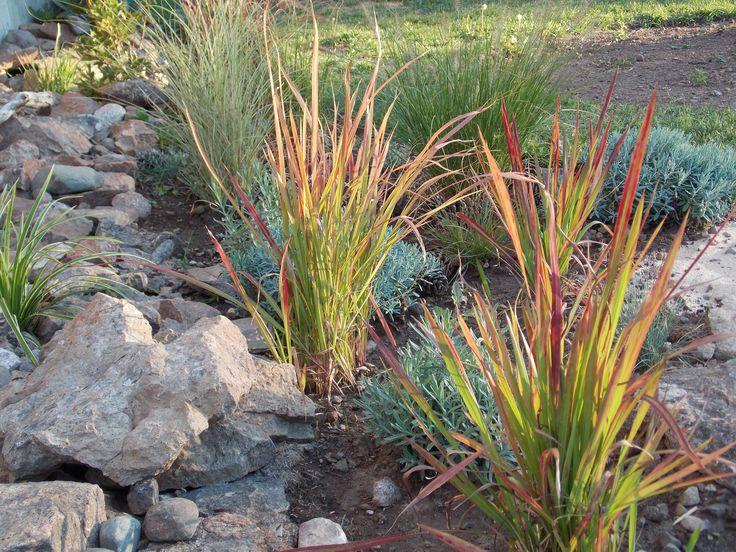 Japanese blood grass grass pinterest for Japanese grass