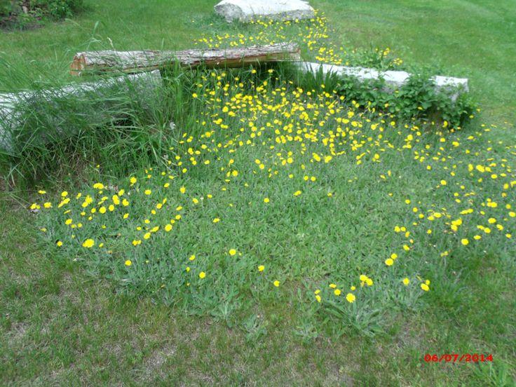 backyard wild flowers  365 Day Photo Challenge  Pinterest