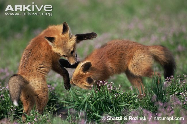 Red fox cubs playing in meadowRed Fox Cubs