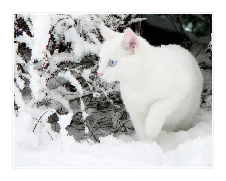 White cat in the snow, Photo by Ace