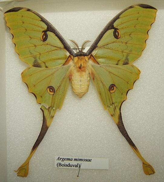 African Moony : African Moon moth Fabulous Creatures Pinterest
