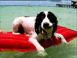 Big dog ranch rescue teaches rescued dogs how to surf