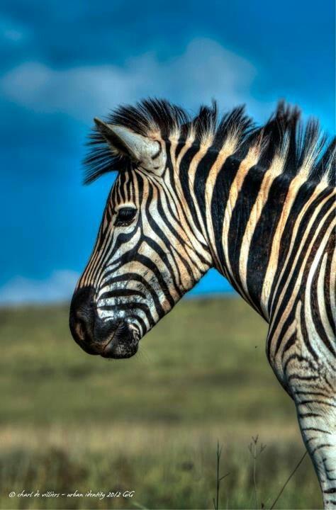 Zebra Without Stripes Pin Pin Zebra Without ...