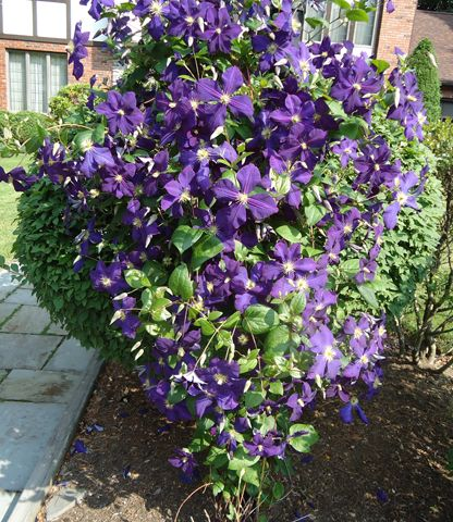 Fast growing climbing plants fast growing deciduous for Fast growing climbing plants for screening