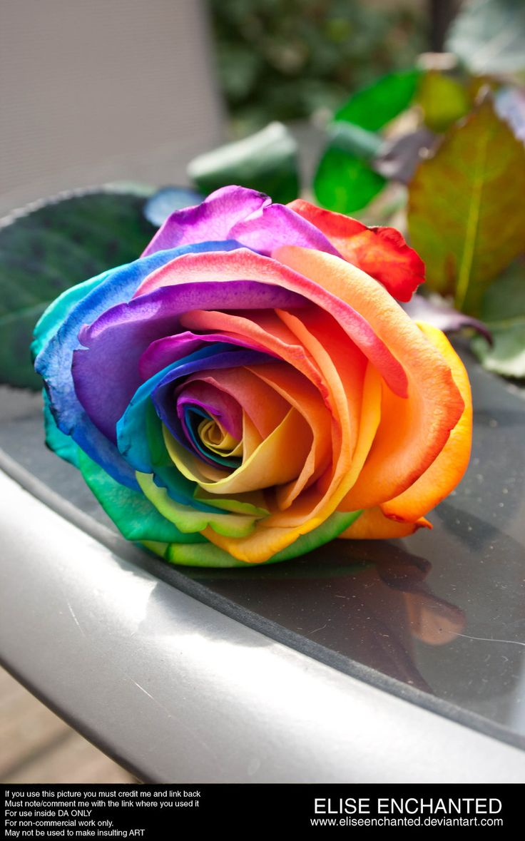 Rainbow rose rainbow things pinterest for Where to find rainbow roses