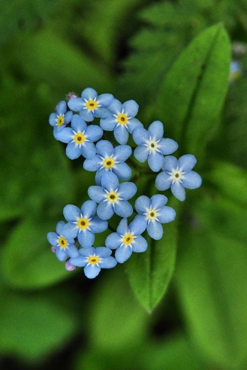 """forget-me-not heart, """"Do not worry if you have built your castles in the air. They are where they should be. Now put the foundations under them."""" Henry David Thoreau"""