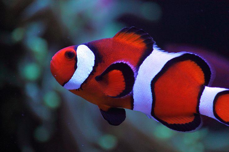 Ocellaris Clownfish Marine Pinterest