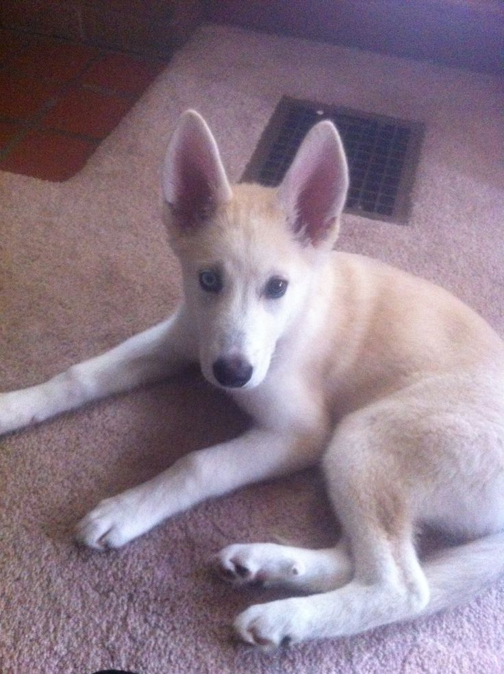 My gerberian shepsky, Nakiya | Puppy love | Pinterest