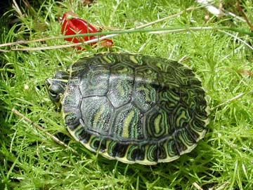 Backyard Turtle Pond Garden Pinterest