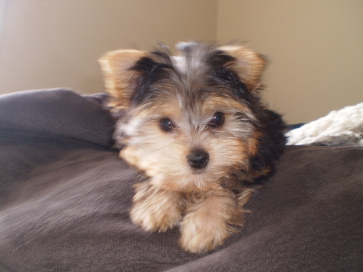 our Yorkie-Poo (Madi) as a puppy.   Yokie Poo..!!